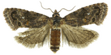 False Codling Moth - IT019 - ISCA Technologies  - 2