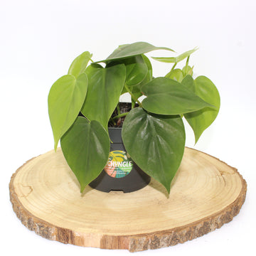 Philodendron scandens ⌀12cm