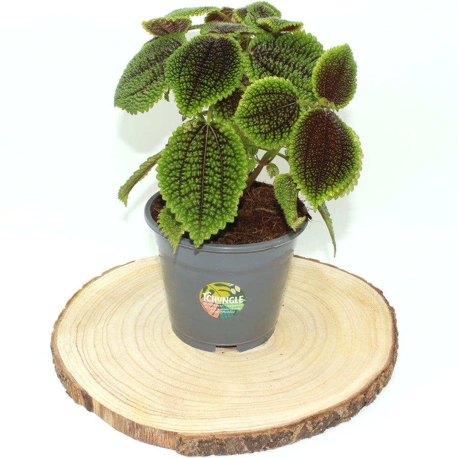 Pilea peperomoides Moon valley