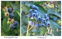 Dense clusters of Little Giant blueberries on the bush