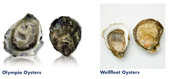Olympia Oysters and Wellfleet Oysters