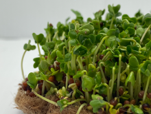 Load image into Gallery viewer, Mini Micogreen Growing Kit