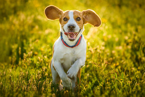 8 Tips for an Organic and Environmentally Friendly Dog Lifestyle
