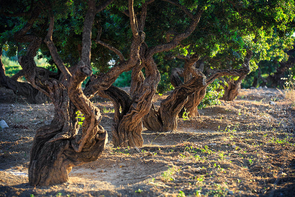 corelli wine mastic trees in row use for maxing resin