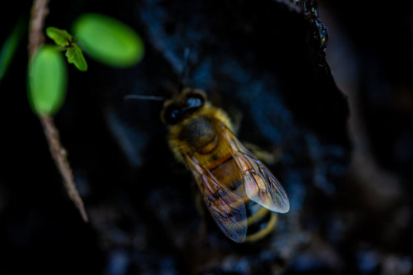 close up of honey bee used for making wax to seal clay amphora jar for wine