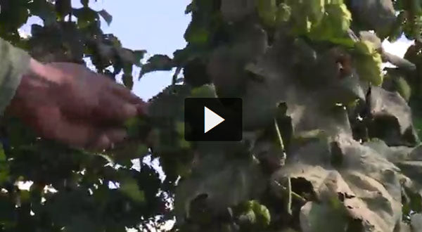 Locally grown hops transform beer in the Upstate.