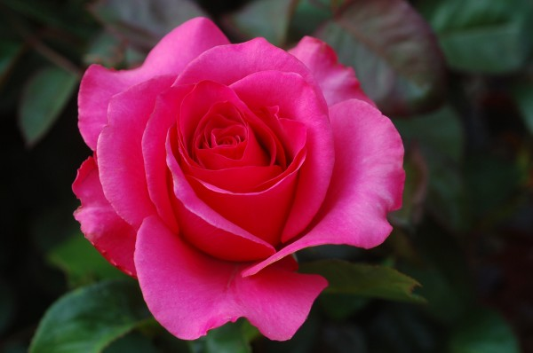 A-rose-is-a-rose-roses-20581060-2256-1496