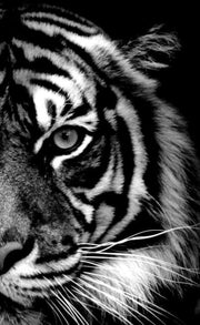 Half Tiger Face in B&W Diamond Painting Kit - Diamond Painting Corner