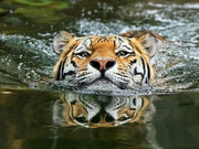 Swimming Tiger and Its Reflection - Diamond Painting Corner