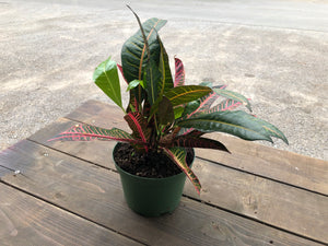 "6"" Croton - Florida Select"