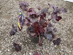 Load image into Gallery viewer, Plum Pudding Coral Bells