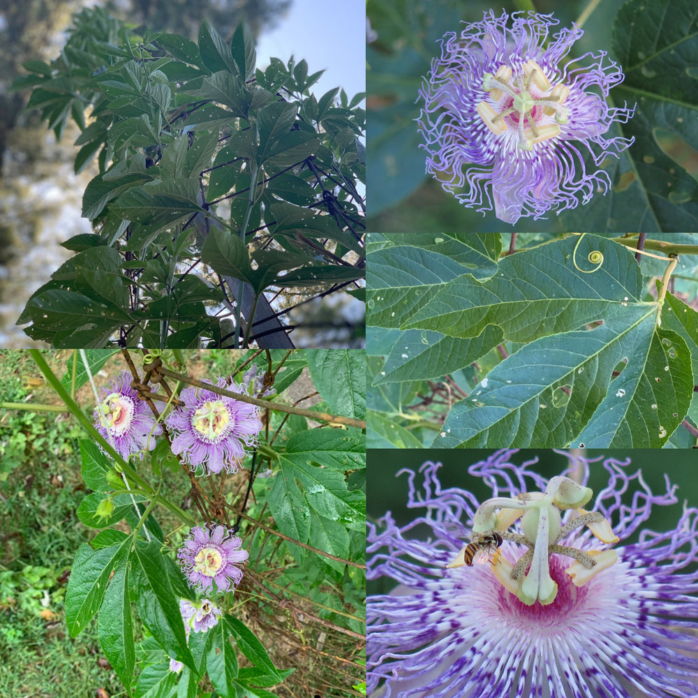 Passionflower Extract 1 oz