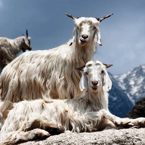 two goats on a mountain in mongolia - blog about what cashmere actually is
