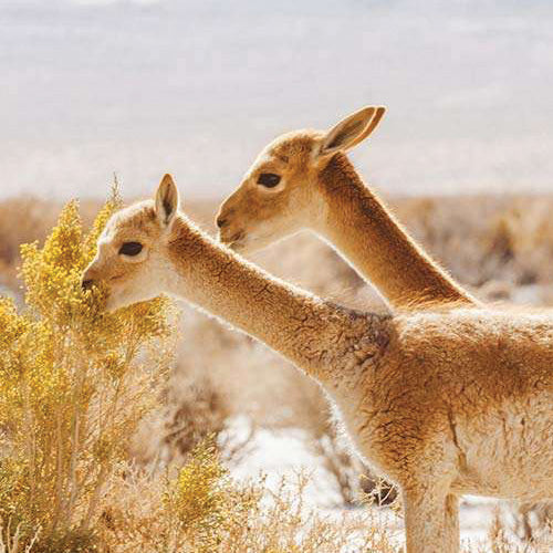 two vicunas eating - what is vicuna - the cashmere company blog
