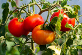FRESH TOMATO - Farm To Neighborhoods Produce Boxes