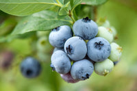 FRESH BLUEBERRIES - Farm To Neighborhoods Produce Boxes