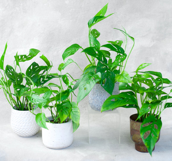 Philodendron Swiss Cheese 4