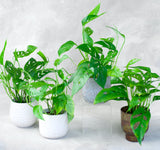 Philodendron Swiss Cheese 4""