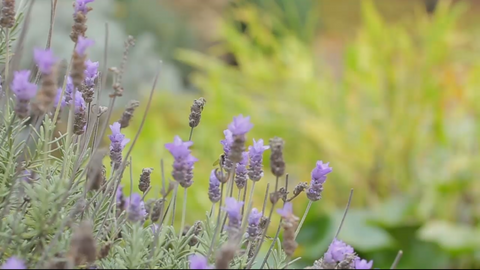 French Lavender Flowering Plant