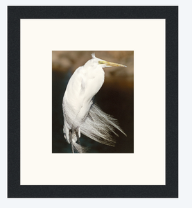 Great White Egret – Framed Prints