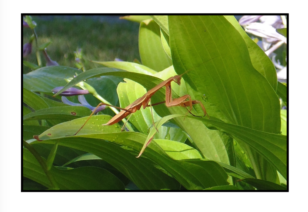 Note Card – Mantis and Morning Coffee