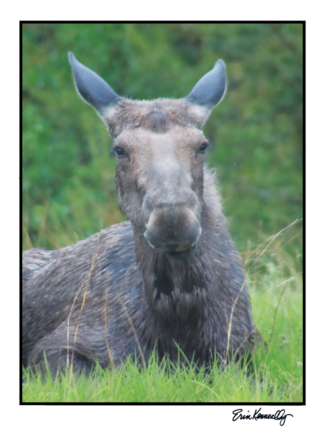 Note Card – Elusive Maine Moose