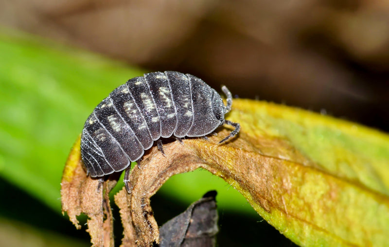 What Do Isopods Eat?