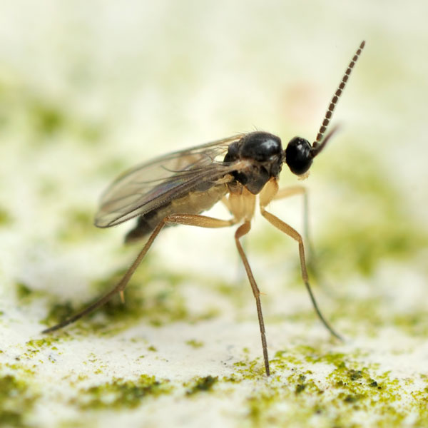 Managing Fungus Gnats When Building Isopod Soil Substrates