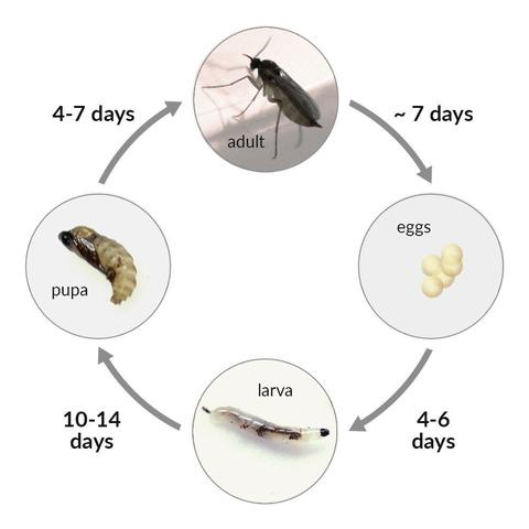 Fungus Gnat Life Cycle Infographic | www.RubberDuckyIsopods.com