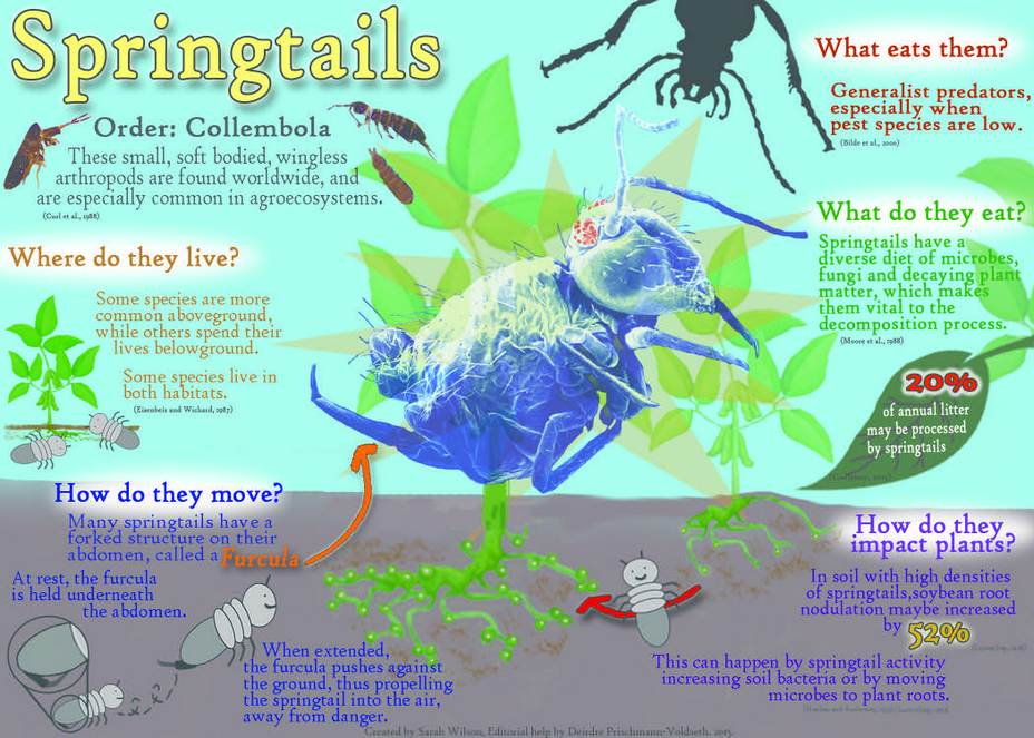 White Springtail Mites Infographic For Isopod Health