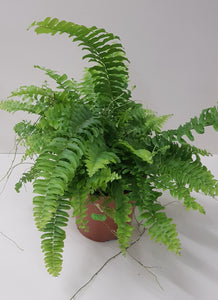 Nephrolepis (Boston fern)
