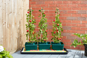 Tomato Gro-boxes - Triple pack