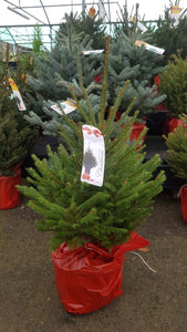 Norway Spruce Pot Grown Tree