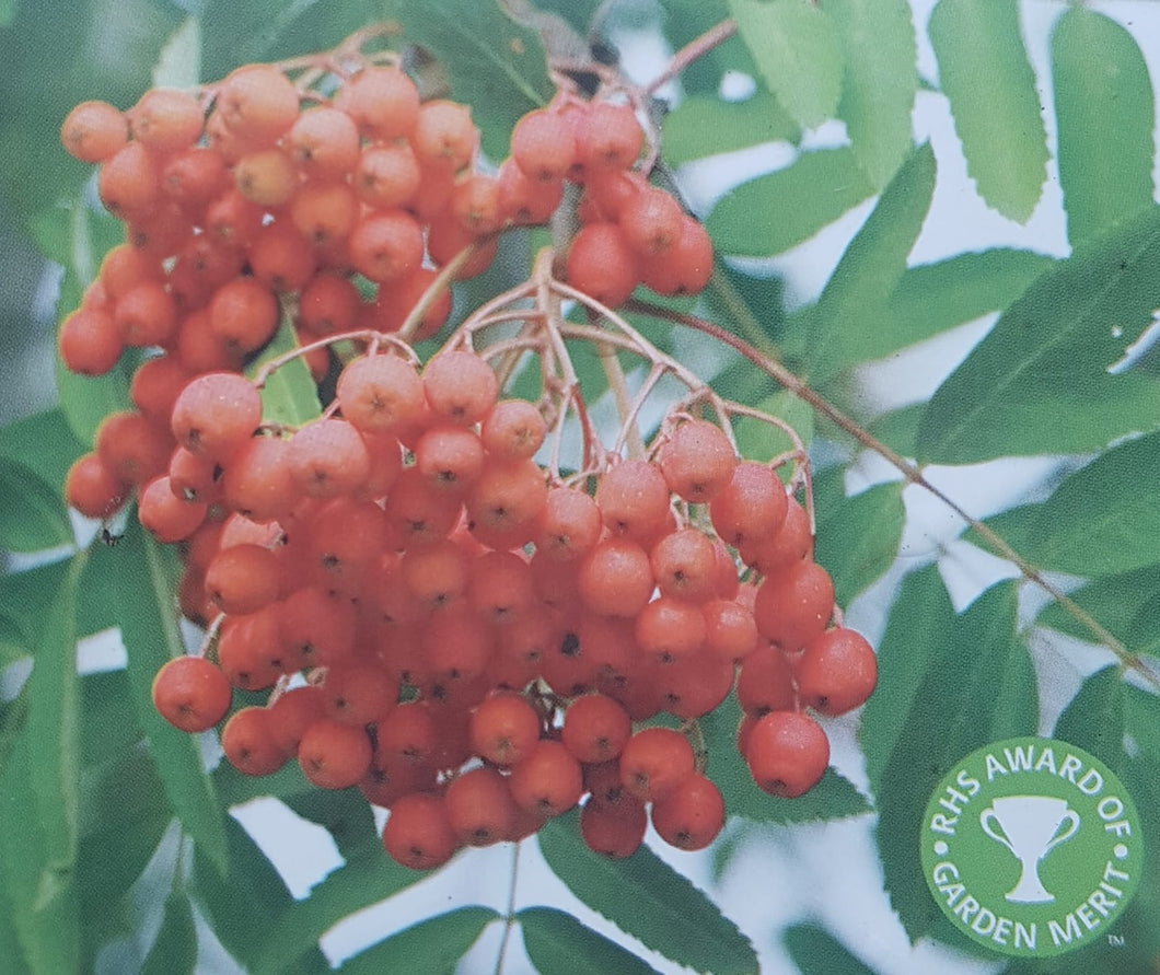 Sorbus 'Sheerwater Seedling'