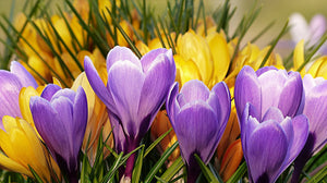 Crocus - 12 Bulbs