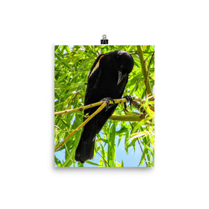 Red-winged Blackbird Photo paper poster