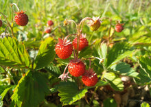 Load image into Gallery viewer, STRAWBERRIES (WILD)