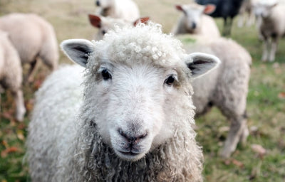 The Unbelievable Science Behind Wool