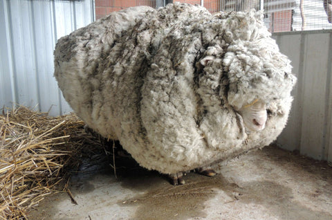 Chris the sheep, with 89lbs of wool!