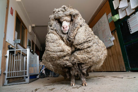 Baarack the Sheep before being shorn after rescuers found him