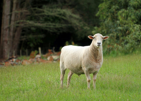 sheep shortly after being shorn