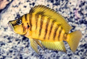 LAMPROLOGUS COMPRESSICEPS GOLD