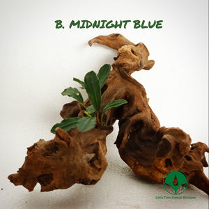 BUCEPHALANDRA MIDNIGHT BLUE