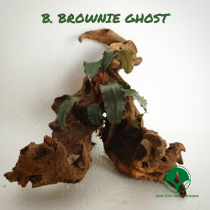 BUCEPHALANDRA BROWNIE GHOST