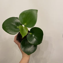 Load image into Gallery viewer, Peperomia Raindrop