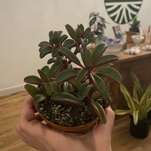 Load image into Gallery viewer, Peperomia 'Ruby Glow""