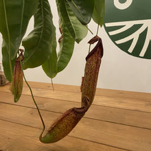Load image into Gallery viewer, Pitcher Miranda Hanging Basket (nepenthes miranda)