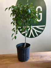Load image into Gallery viewer, Weeping Fig (Ficus)