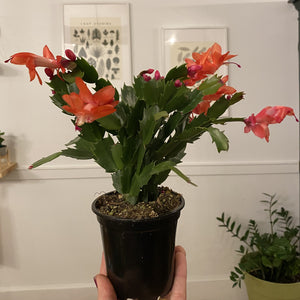 Holiday Cactus 4""