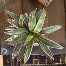 Load image into Gallery viewer, Tradescantia - Moses in the Cradle